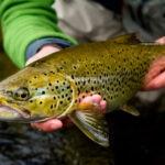 Jimie Elofson - bästa flugfiskevatten öring Gimån Jämtland Sverige